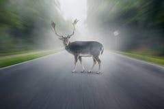 Cervos Foto de Stock