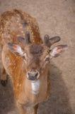 Cervos Fotos de Stock