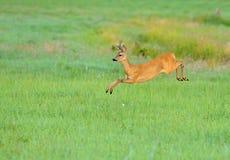 Cervos Imagens de Stock