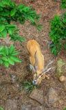 Cervos Imagem de Stock