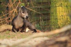 Cervos adornados litorais Foto de Stock