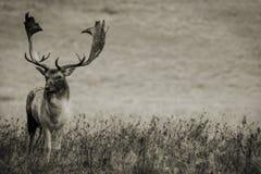 Cervos adultos imagem de stock