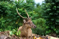 Cervos adultos na floresta do outono imagens de stock royalty free