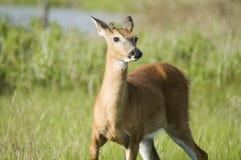 Cervos alertas Imagens de Stock Royalty Free