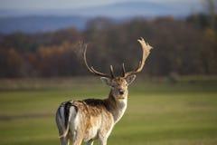 Cervos alertas Fotografia de Stock Royalty Free
