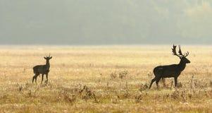 Cervos alqueivados novos e velhos Fotografia de Stock