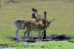 Cervos alqueivados pretos sedentos Foto de Stock