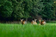 Cervos alqueivados que correm na floresta foto de stock