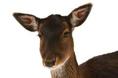 Cervos amigáveis Imagem de Stock