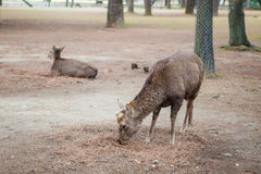 Cervos amigáveis em Nara Fotos de Stock Royalty Free