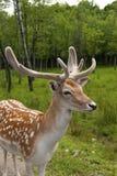 Cervos atados brancos Imagem de Stock Royalty Free