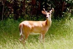 Cervos atados brancos imagens de stock royalty free