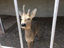 Cervos atrás das barras Foto de Stock Royalty Free