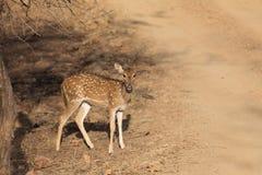 Cervos - Barisingha imagens de stock