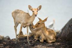 Cervos bonitos imagem de stock