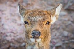 Cervos bonitos do bebê imagens de stock