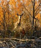 Cervos Branco-atados Autumn Trees Colors Imagem de Stock Royalty Free