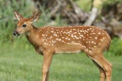 Cervos Branco-atados bebê & x28; Virginianus& x29 do Odocoileus; imagens de stock royalty free