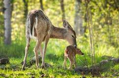 Cervos Branco-atados (virginianus) do Odocoileus Fawn Resists Bath fotografia de stock royalty free