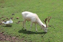 cervos brancos com o pato dado forma fotografia de stock