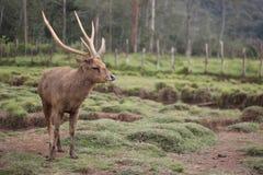 Cervos carismáticos foto de stock