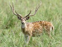 Cervos cheetal masculinos bonitos na pastagem de Dhikala foto de stock