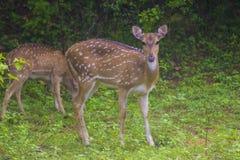 Cervos cingaleses da linha central imagem de stock