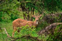 Cervos cingaleses da linha central Fotografia de Stock Royalty Free