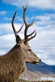 Cervos com chifres fotos de stock