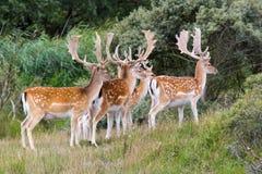 Cervos com grandes antlers imagem de stock royalty free