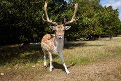 Cervos curiosos Fotos de Stock