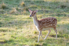 Cervos curiosos Imagens de Stock Royalty Free