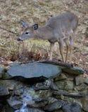Cervos curiosos Fotografia de Stock