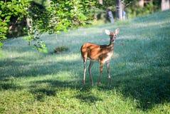 Cervos curiosos acima perto da câmera Foto de Stock