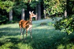 Cervos curiosos acima perto da câmera Imagens de Stock Royalty Free