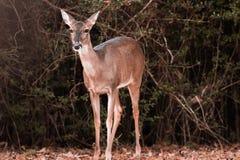 Cervos da beleza Imagem de Stock Royalty Free