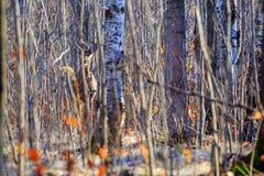 Cervos da camuflagem Fotografia de Stock