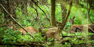 Cervos da cauda branca Imagens de Stock