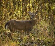 Cervos da cauda branca Foto de Stock