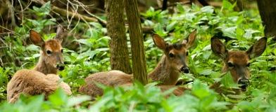 Cervos da cauda branca Fotografia de Stock
