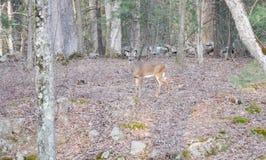 Cervos da cauda branca nas madeiras Foto de Stock Royalty Free
