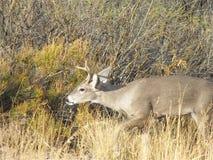 Cervos da cauda branca (virginianus), parque nacional do Odocoileus de curvatura grande, TX Imagem de Stock