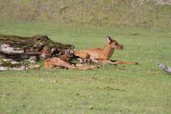 Cervos da cauda do preto de Sitka do bebê no centro da conservação dos animais selvagens de Alaska Fotos de Stock Royalty Free