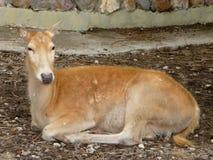 Cervos da corça Imagem de Stock