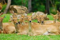 Cervos da família Imagens de Stock Royalty Free