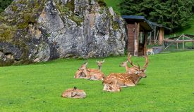 Cervos da família no parque do jardim zoológico Fotos de Stock Royalty Free