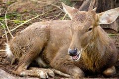 Cervos da linha central Foto de Stock