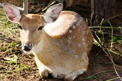 Cervos da linha central Fotografia de Stock Royalty Free