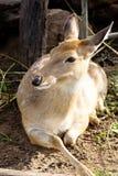 Cervos da linha central Fotografia de Stock
