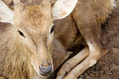 Cervos da linha central Foto de Stock Royalty Free